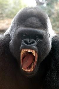 600 pound gorilla